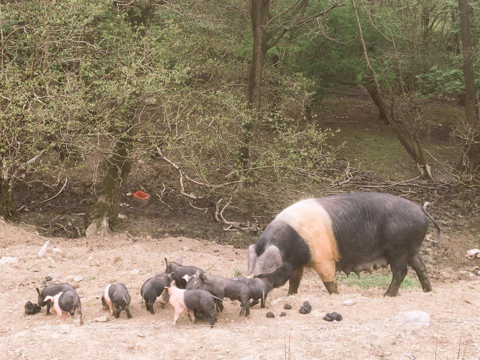 Launder Farm Piglets.jpg
