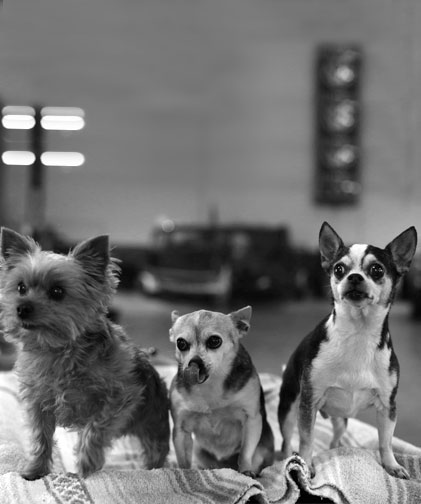Our Shop Dogs  Joined Tim's German Auto years and years ago