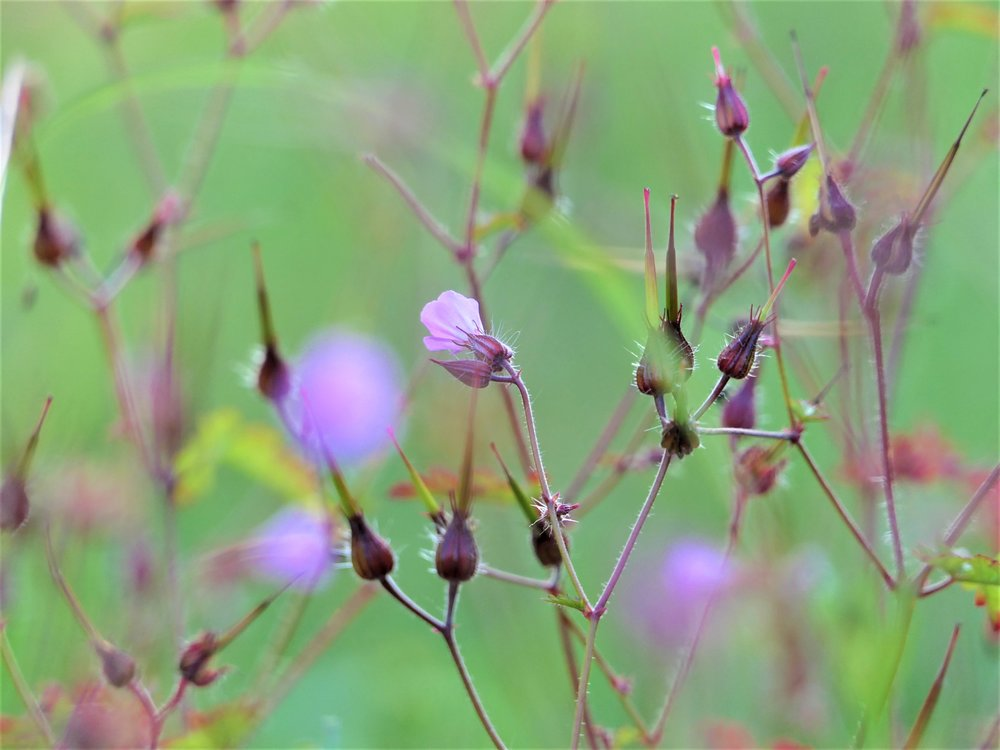 Geranium robertianum  / Storchenschnabel / Lymph-  und Frauenpflanze