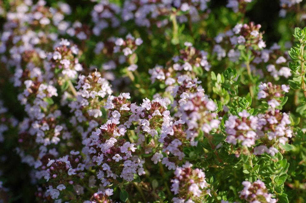 Thymus vulgaris  / Thymian
