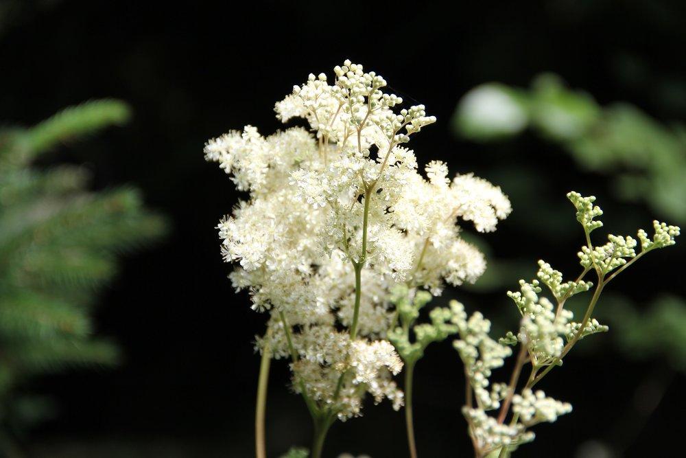 Filipendula ulmaria / Mädesüss