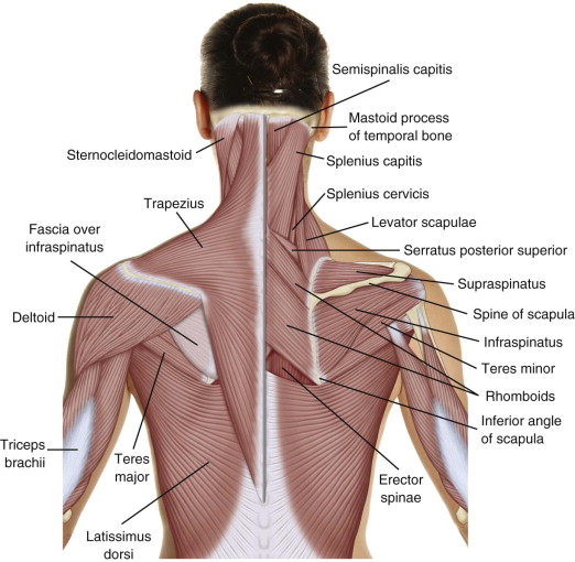 BAck anatomy.jpg