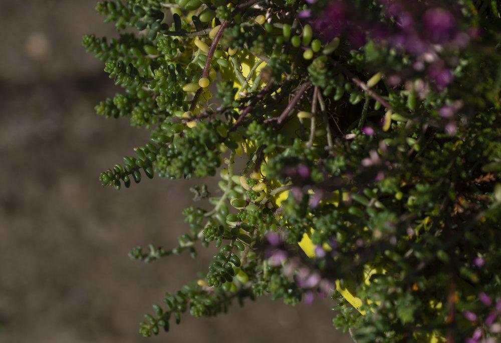sedum_and_purple_heather.jpg