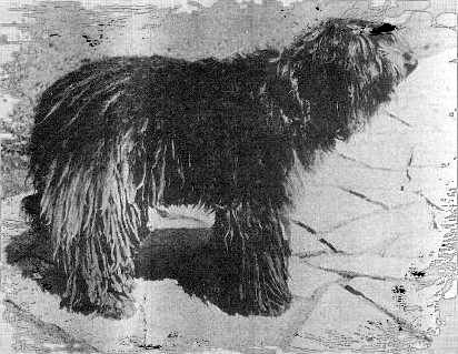1949 Ch. Alpino Di Valle Imagna. The country of origin breed standard was mostly based on this dog.