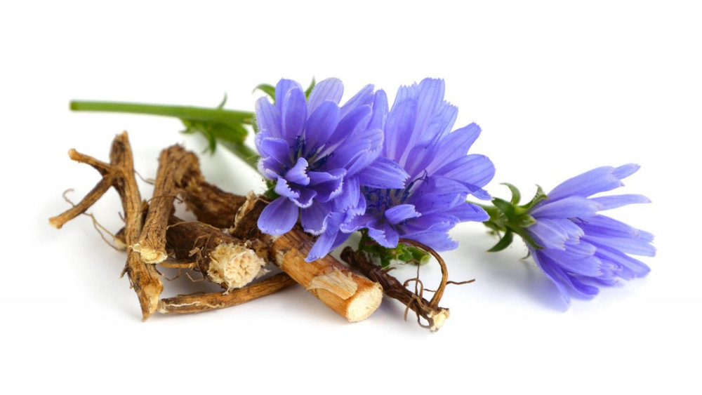 Chicory Root is A Super Fiber for our Gut Bacteria - These non-digestible fibers enter the large bowel where good bacteria ferment them causing a selective increase in their numbers. You can see the final expression of these roots in the vibrant purple flower.