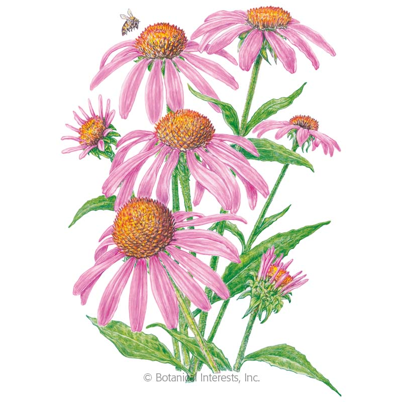 Echinacea is Highly effective in the movement of virus - Low Dose Echinacea can be taken for months at a time to slowly and effectively to move certain viruses out of the body.
