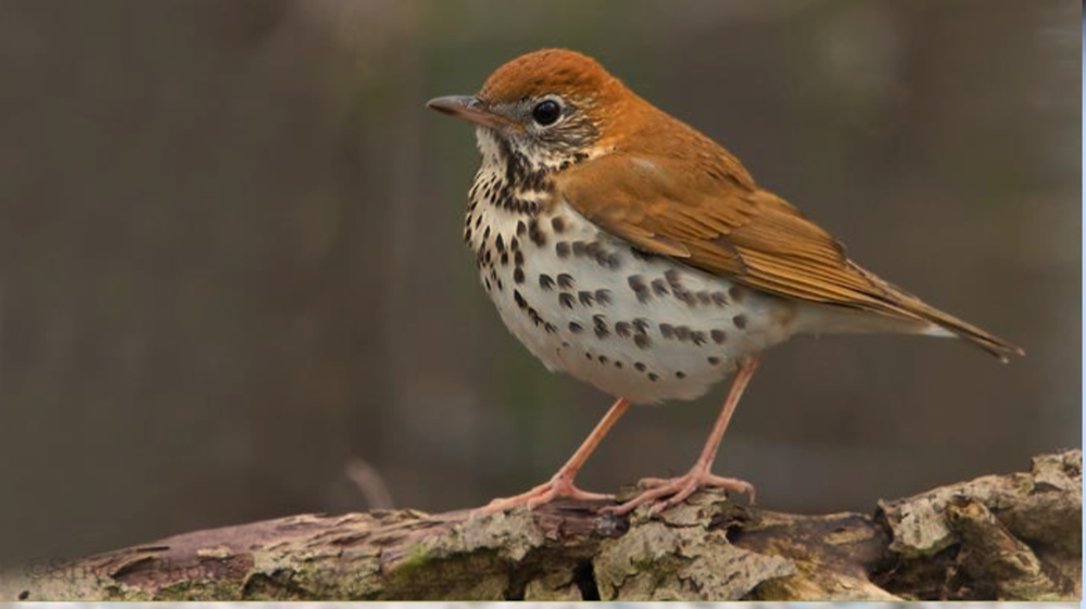 Particulary Susceptible to Collisions: Wood Thrush