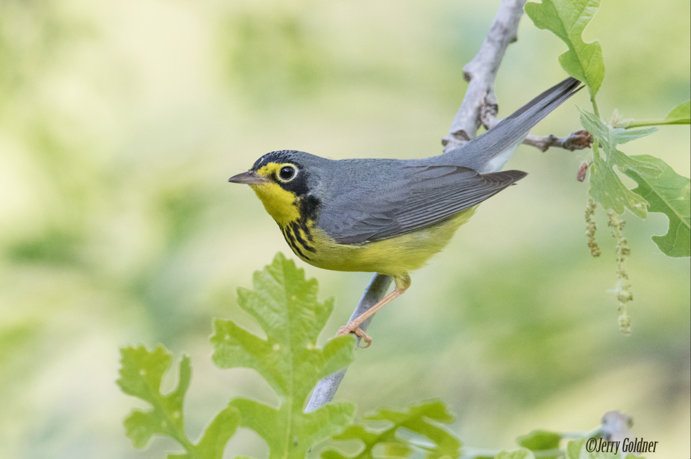 Particulary Susceptible to Collisions: Canada Warbler pc:Jerry Goldner