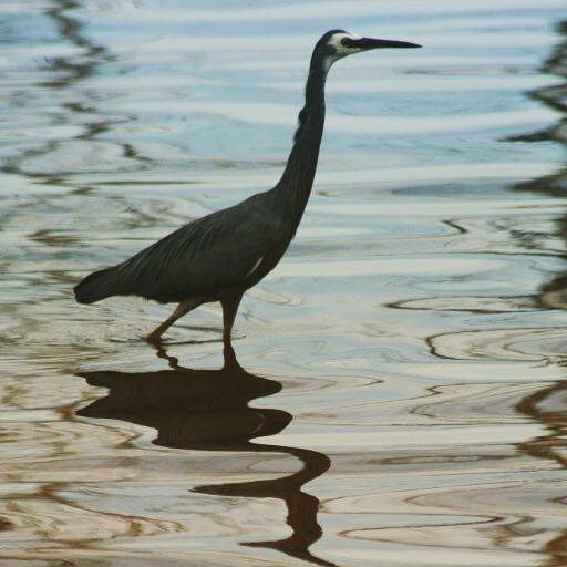 White faced heron. Mallee. #birds #camping #environment #mallee #wetlands #water #victoria #landscape  #nature #murrayriver #lakes #photography