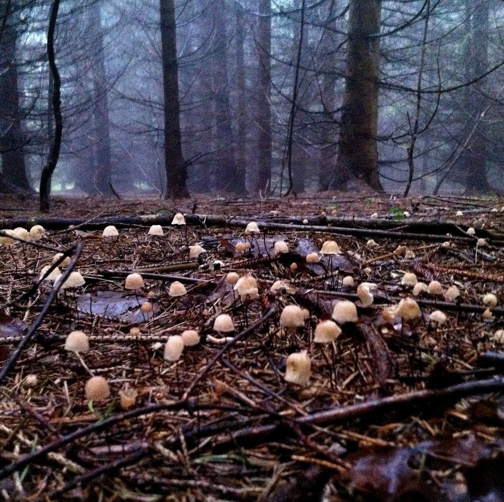 Foggy mushrooms.jpg