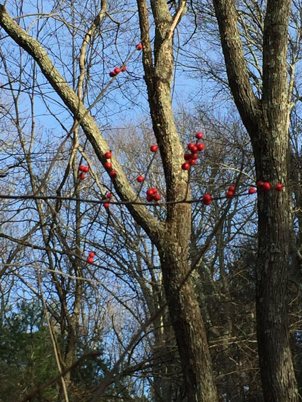 December Berries 1.JPG