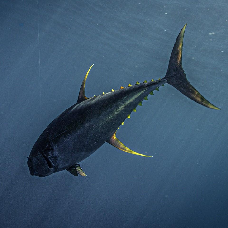 Local-Knowledge-tuna-fishing-giant-Louisiana-waypointtv.jpg
