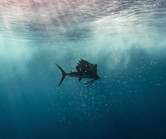 Arguably the fastest fish on the earth, the sailfish has been clocked at speeds in excess of 68 mph! Via @local_knowledge - @CasaViejaLodge 📺 Watch all episodes of @local_knowledge now at @waypointtv 🔥✅ . . . #Localknowledge #discoverychannel #offshorefishing #sailfish #fishingshow #fishermen #anglers #casaviejalodge #angler #billfish #fishfacts #gonefishing #fishingtrip #deepseafishing #guatemala #fishingislife #WaypontTv