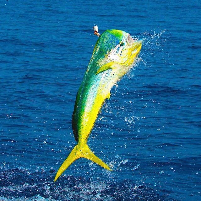 Flying into Friday like this mahi mahi! 🎣💯✅ @sport_fish_gallery capturing this bull mid-flight Watch the best saltwater fishing content on @waypointtv #WaypointSaltwater