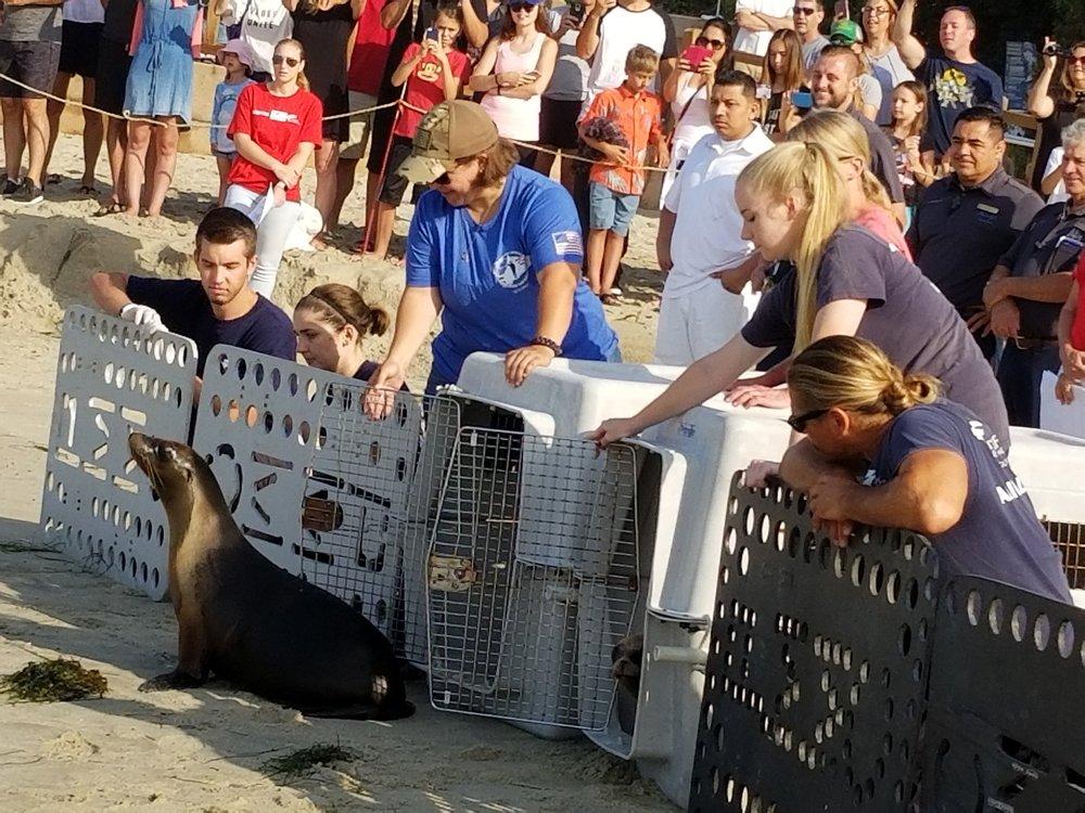 Claire Horseman, U.S Coast Guard, releasing California sea lion Ensign.