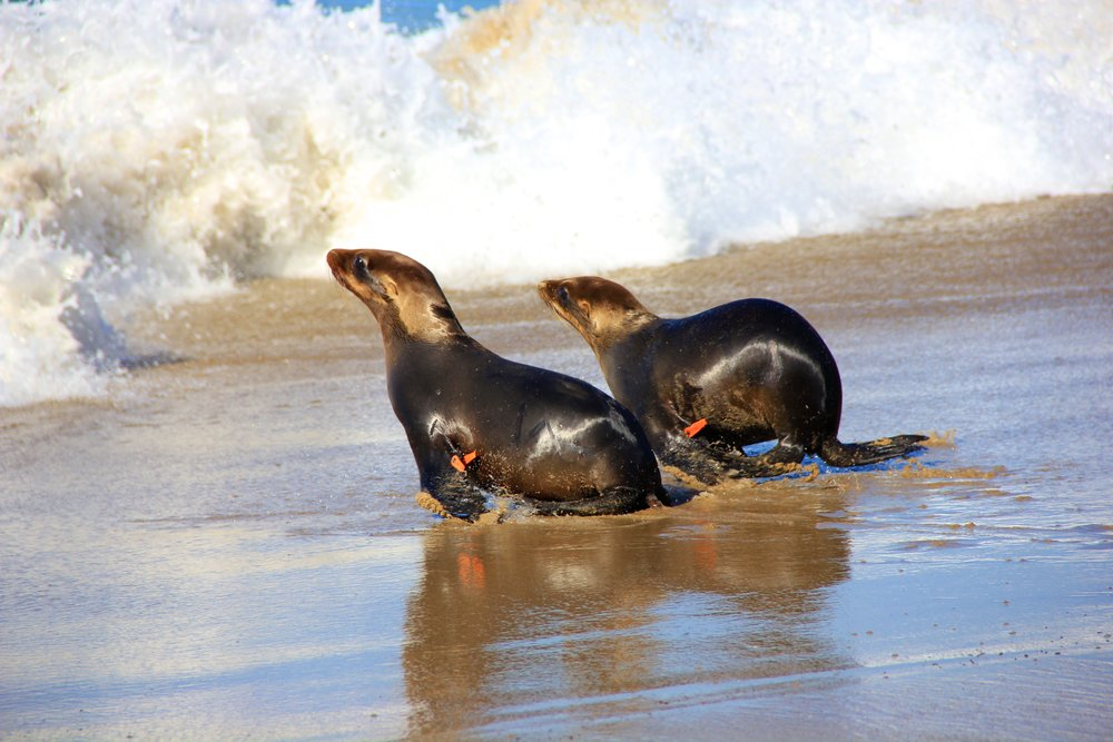 Marine Mammal Rescue, Rehabilitation, And Release - (All Ages)Our most popular field trip! Get an introduction to the Pacific Marine Mammal Center. Learn how we rescue marine mammals and nurse them back to health in order to give them a second chance at life.