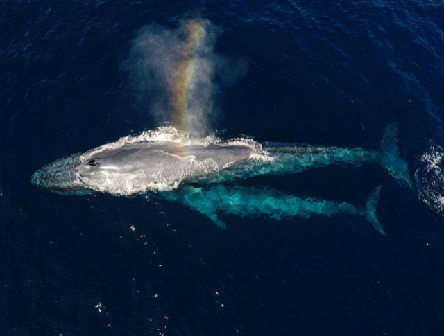 Blue Whale MG.png