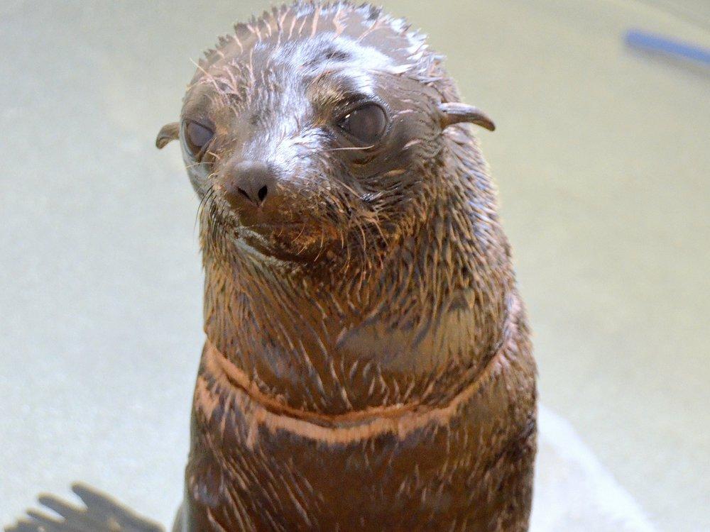 2012 Gwen fur seal (5).jpg