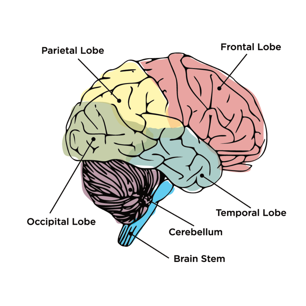 brain-lobes.png