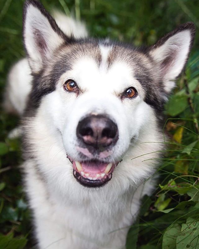 At least somebody's happy it's Monday! I am too to be honest! It means that in just 3 days I get to go home and see my own fur baby Molly! If I'm lucky she'll let me take some pictures of her and then you can all meet her too! #mondaymotivation #alaskanmalamute #petportrait