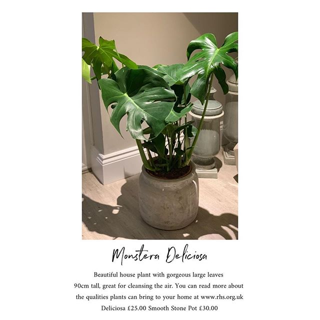 The new kid in town.... The Monstera Deliciosa 🖤good on the inside and out. Particular benefits of interior plants include:  Reducing carbon dioxide levels  Increasing humidity  Reducing levels of certain pollutants, such as benzene and nitrogen dioxide  Reducing airborne dust levels  Keeping air temperatures down  #VFA #popup #flowermarket #greenupyourgaff #plantdelivery #fridayplants #plantbenefits #floraldesign #florist #fridayflowers #floraldesign #supportinglocal #berkshire #wokingham