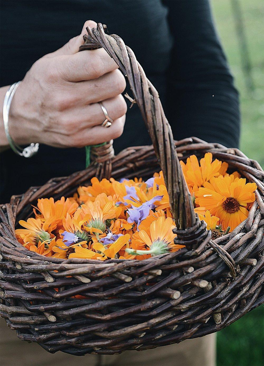 elder-farm-medicinal-herbs-calendula.jpg