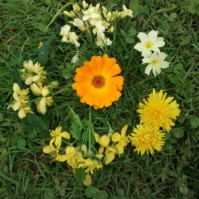 So many yellow flowers at this time of year! #spring #springflowers and a lovely Calendula
