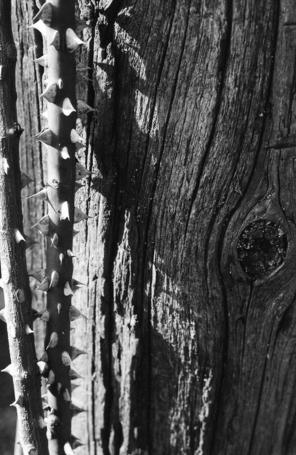 B&W Thorns.jpg
