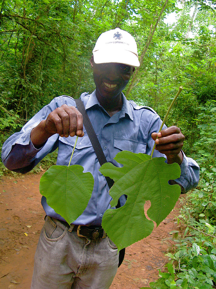 ghanaian-forester-pulp-mulberry-leaves.jpg