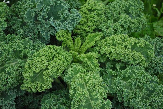 curly-kale-feature.jpg