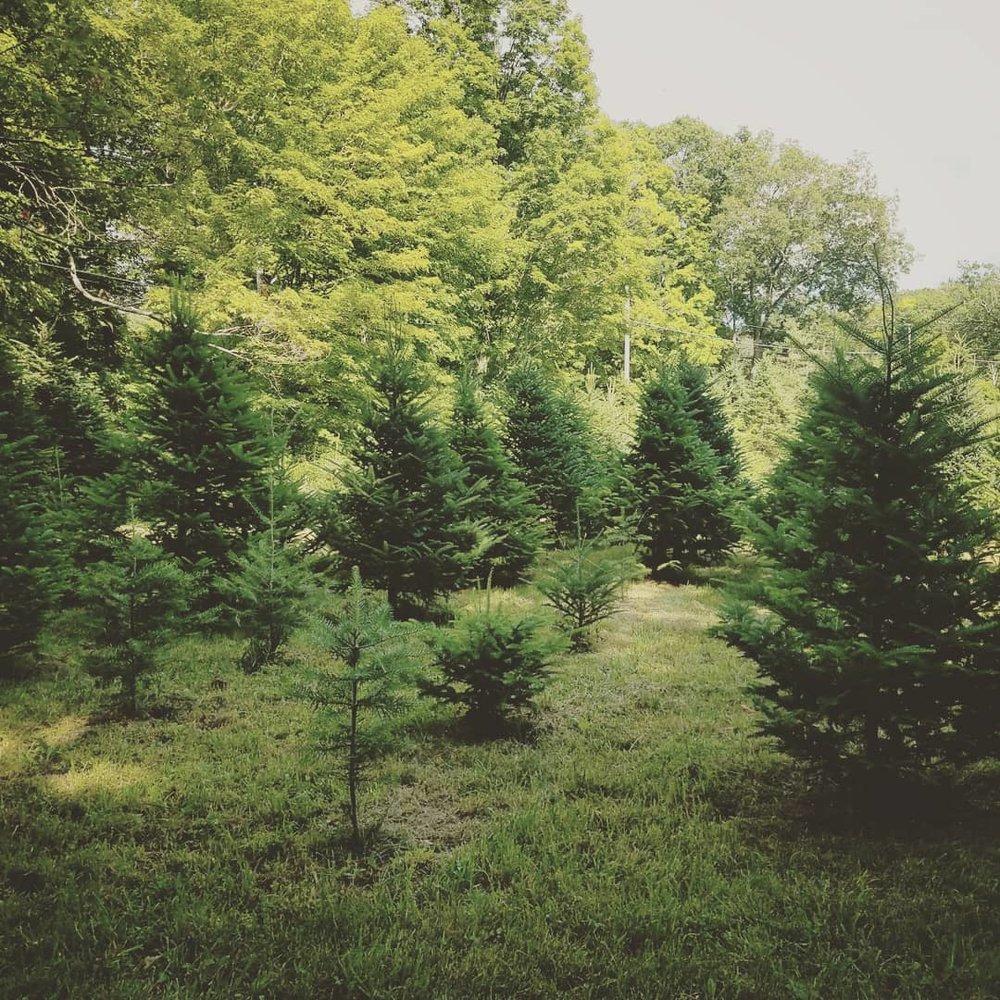 xmas tree farm2.jpg