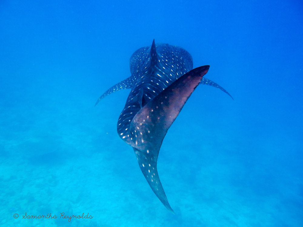 Whale shark - the biggest fish in the ocean - feeds on plankton. Photo: @SamanthaReynolds