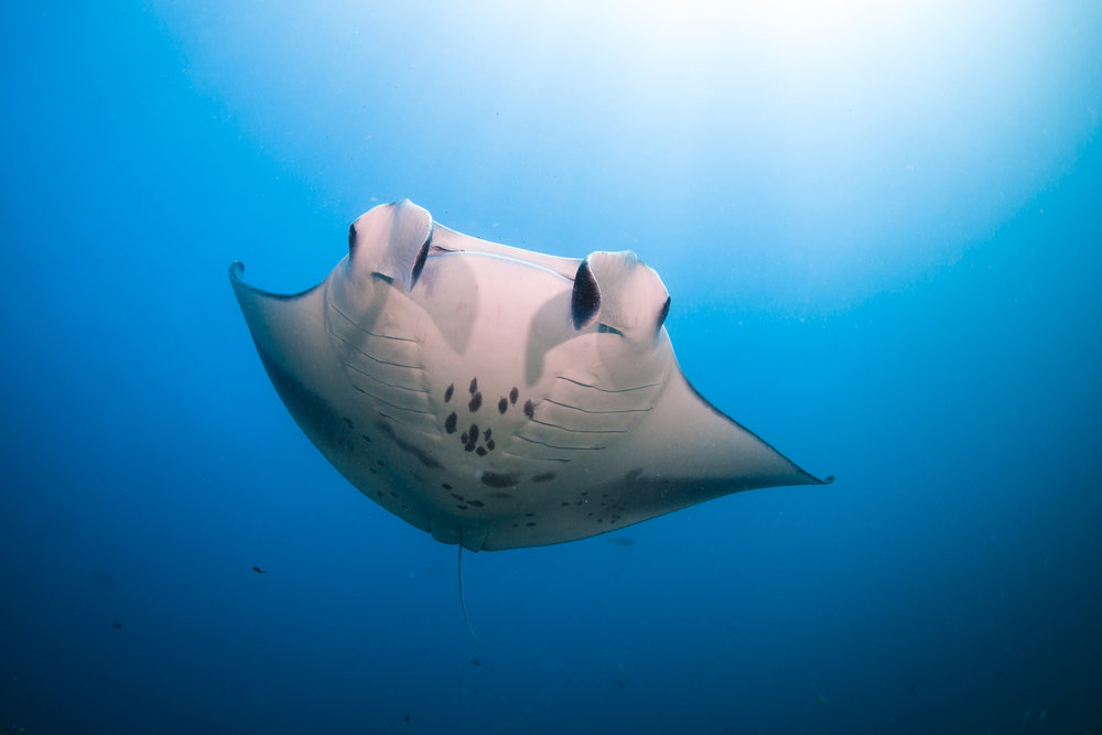 Manta rays are large filter feeders that rely on plankton as a source of food. Photo: @Maldivesunderwateriniative