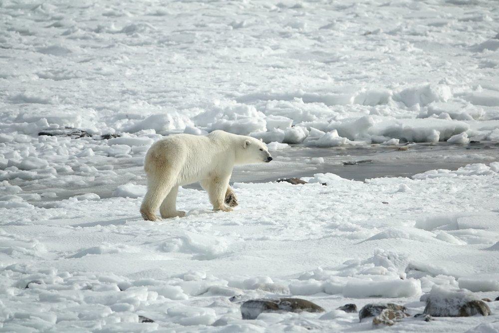 polar-bear-3775941.jpg