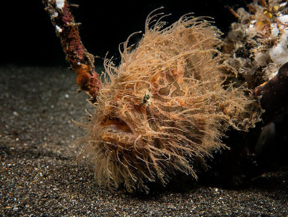 Hairy Frogfish. Photo: Martin Bovingdon