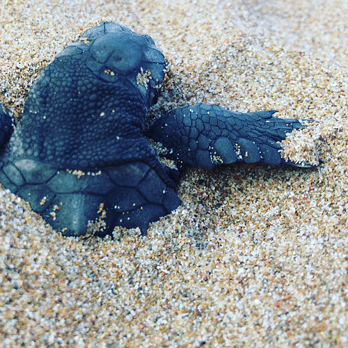 Sea Turtle Hatchling. Photo: Harriet Tyley @harrietyley