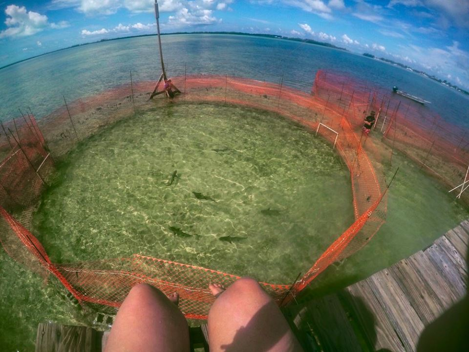 Captive experiment researching the personality of lemon sharks. Photo: Rose Boardman @oceandreaming94