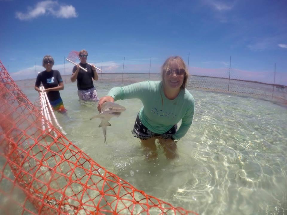 Safety shuffling juvenile lemon sharks for personality experiments. Photo: Rose Boardman @oceandreaming94