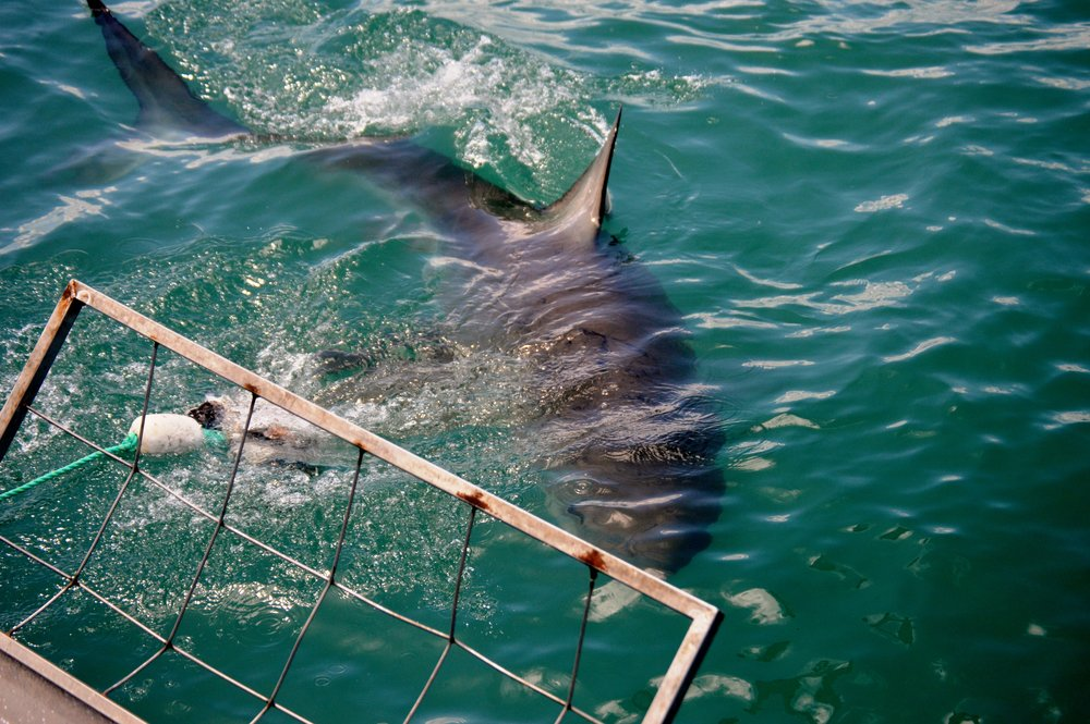 Cage diving with Great Whites in Gansbaai. Photo: Sally Sivewright