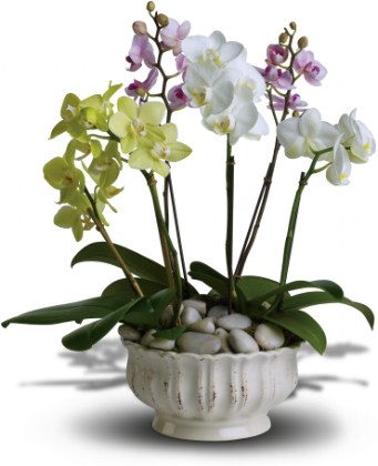 Regal Orchids    A trio of colorful orchids is an elegant way to wish someone well. Presented in a beautiful white ceramic planter are three miniature phalaenopsis orchid plants. The white, lavender and green orchids sit peacefully in a bed of smooth, Zen river rocks.    Buy Now>>