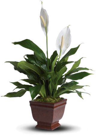 Lovely One Spathiphyllum    The classic spathiphyllum plant with its snowy white flowers is a gift that brings lasting serenity to any room. It will be deeply appreciated. The beautiful spathiphyllum plant will be delivered in a classic noble heritage urn.    Buy Now>>