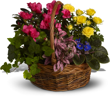 Blooming Garden Basket    This lush garden of potted flowering plants includes yellow miniature roses, pink azalea, African violets, hot pink hypoestes and green ivy.    Buy Now>>