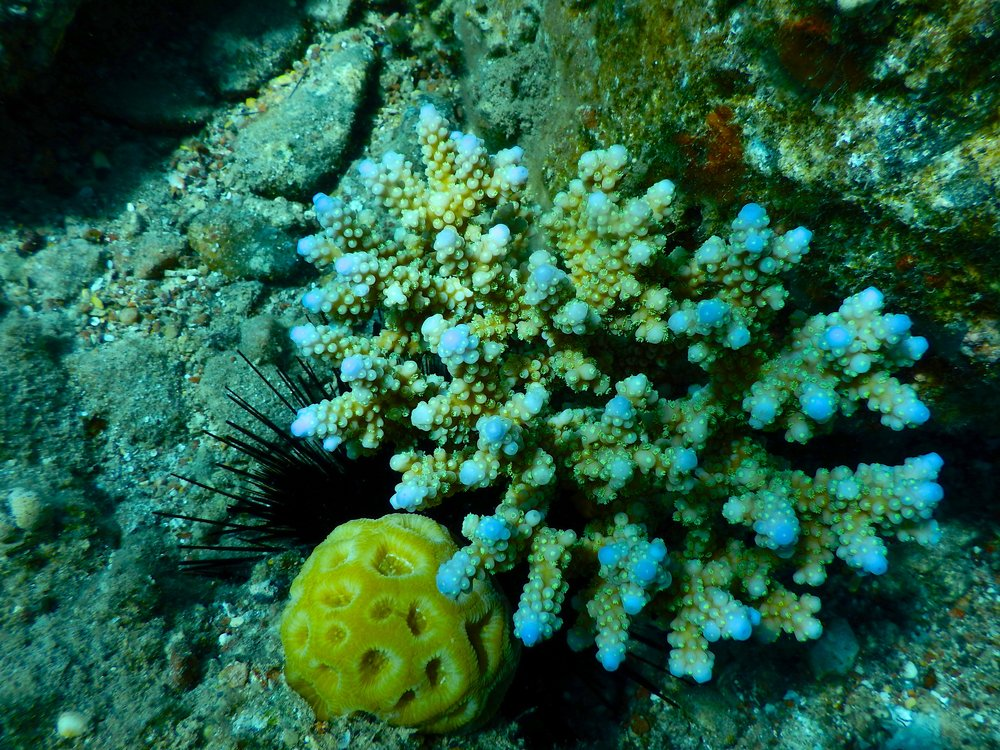 Long-spined sea urchins live in close proximity to corals and keep the algae taking up much space on the reef floor. Photo credit: Jason Baer