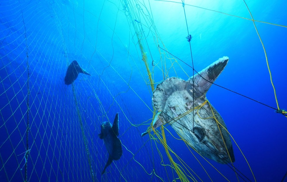 An ocean sunfish, or Mola Mola, caught in a tuna net. Photo credit: Alessio Viora