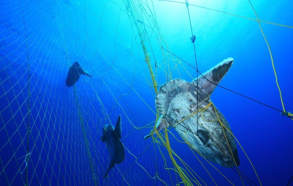 An ocean sunfish, or Mola Mola, caught in a tuna net. Photo credit: Alessio Viora