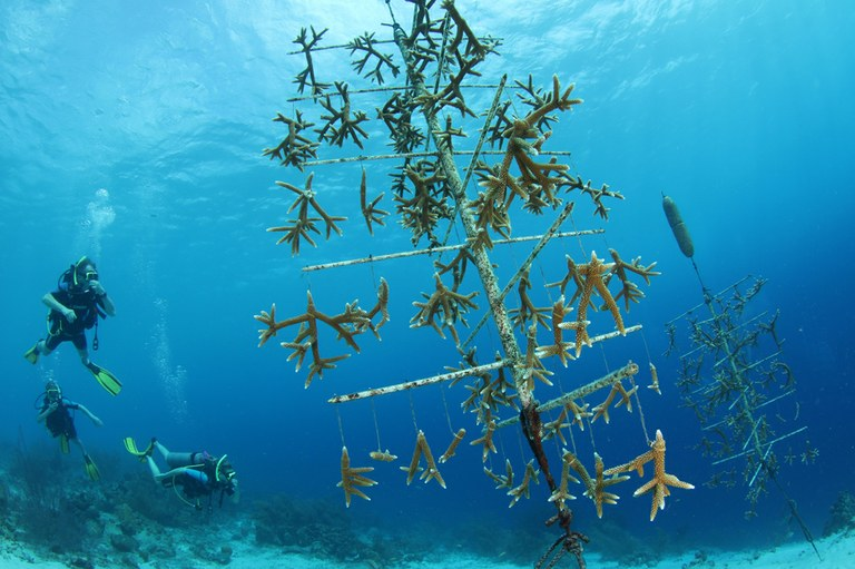 The Coral Restoration Foundation (CRF) in the Florida Keys grows coral fragments in nurseries, then plants them back out on the reef. Photo credit: Pol Bosch