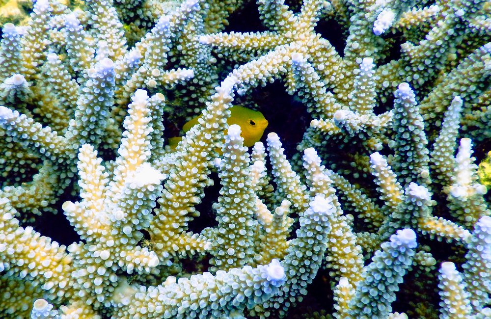 A fish hides in the branches of an  Acropora  coral, which it depends on to stay alive. Photo credit: Tomoe Steineck