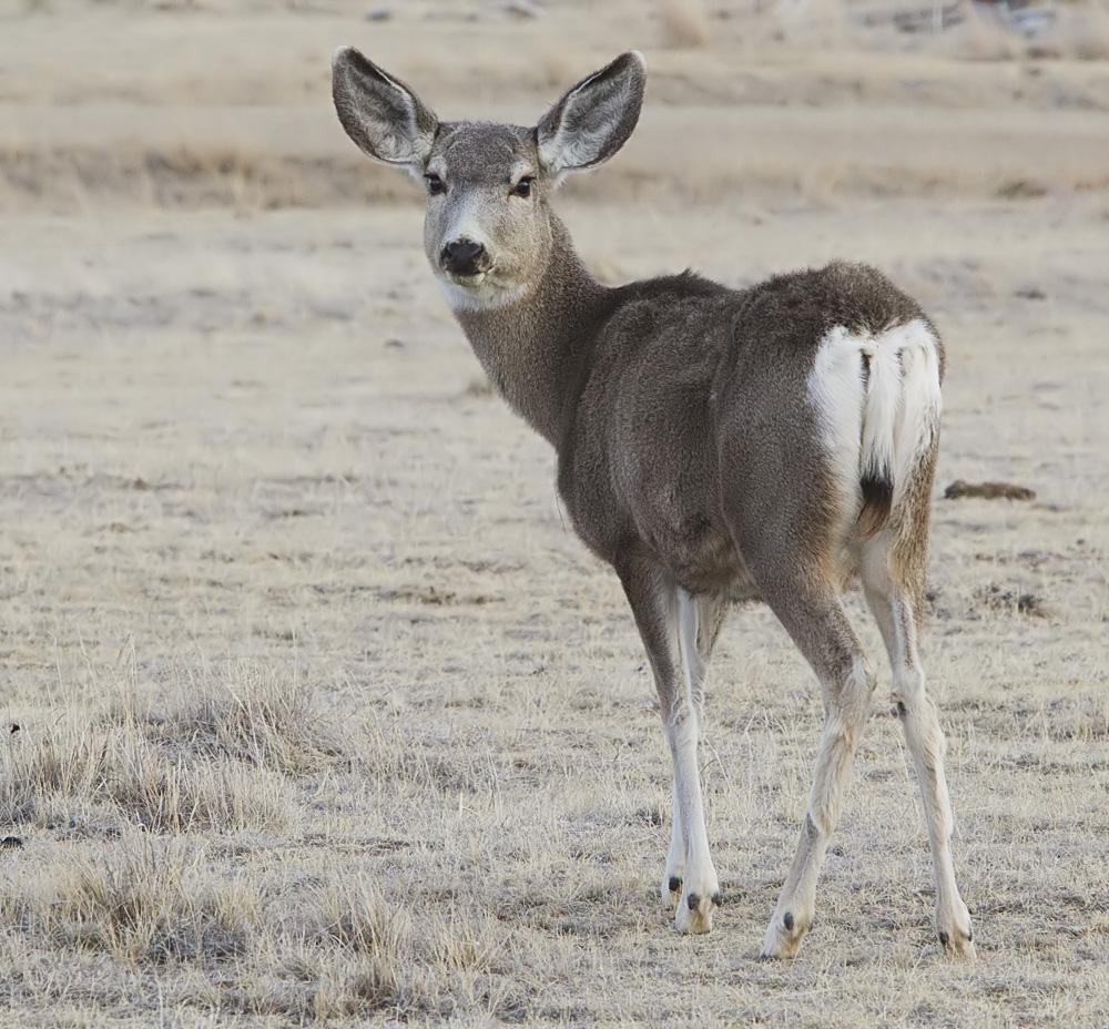 2012-mule-deer-female.jpg