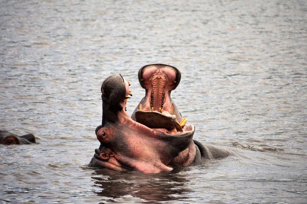 hippos-lake-minyera.jpg