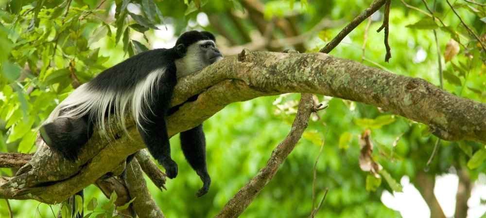 Black_and_white_colobus_monkey_(13945312952).jpg